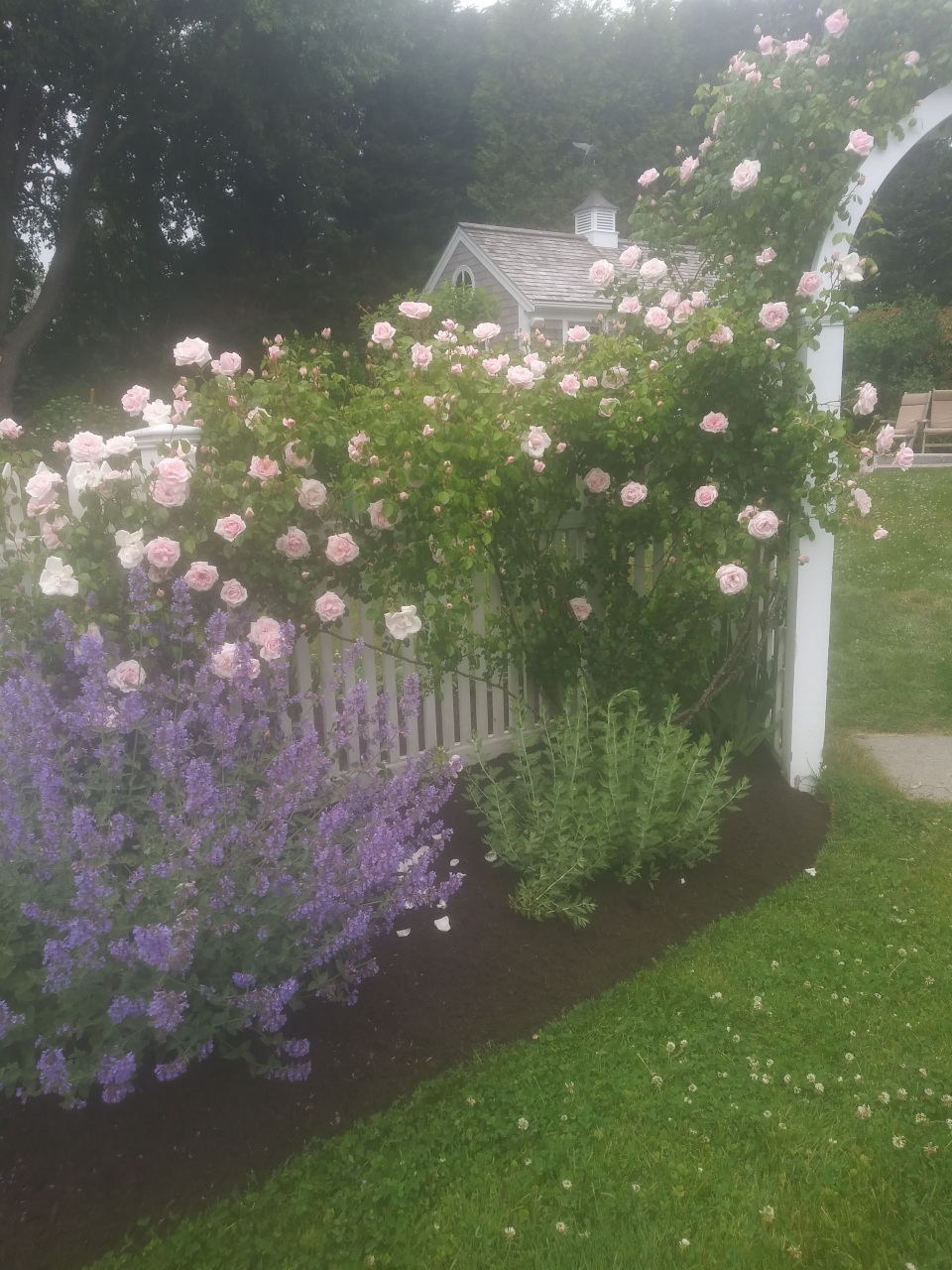 Roses and flowers growing through a white fence